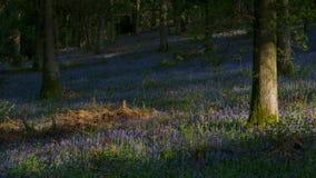 Chênes et jacinthes des bois dans Kent, horizontal Photos libres de droits