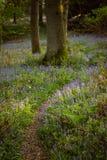 Chênes et jacinthes des bois dans Kent, vertical Photos libres de droits