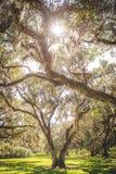 Chênes majestueux photo stock