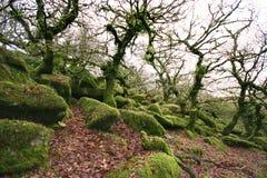 Chênes noueux aux wistmans en bois Image libre de droits