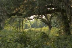 Chênes sous tension dans les bois Photographie stock