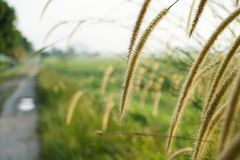 Chíbese las flores en la salida del sol en el campo del arroz de arroz Fotos de archivo libres de regalías