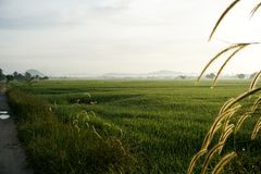 Chíbese las flores en la salida del sol en el campo del arroz de arroz Fotos de archivo