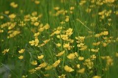 Chíbese y muchas flores del amarillo en un parque Imágenes de archivo libres de regalías