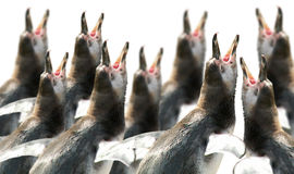 chórowi pingwiny Obrazy Royalty Free