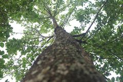 Chłodno ciemniutki drzewo Nauclea orientalis obrazy stock