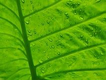 Chłodno Colocasia - słonia ucho liścia tło Obraz Royalty Free