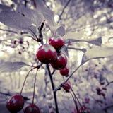 Chłodno czerwony czereśniowy drzewo Fotografia Royalty Free
