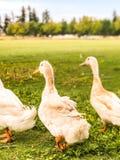 Chłodno ostrzyżenie kaczka w parku zdjęcie royalty free
