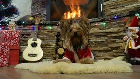 Chłodno zwierzę domowe w boże narodzenie domu zdjęcie wideo