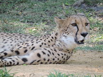Chłodzić geparda Zdjęcie Stock