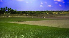 Chłopi pracuje w ryżowych polach, orze z zebu, drzewka palmowe, udziały białe czaple indu Obraz Stock
