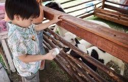 Chłopiec żywieniowi cakle w gospodarstwie rolnym zdjęcie royalty free