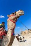 Chłopiec cieszą się z wielbłądem obrazy royalty free