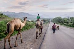 Chłopiec iść do domu z zwierzęciem w drodze północny Etiopia Zdjęcie Royalty Free