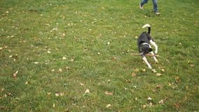 Chłopiec i pies bawić się z kijem wpólnie w parku Dwa sowizdrzalskiego przyjaciela biega wokoło zbiory wideo