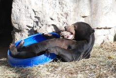 chłopiec niedźwiadkowy frat Zdjęcia Royalty Free
