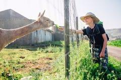 Chłopiec podróżnika karmy lama na lamy gospodarstwie rolnym Obrazy Stock