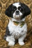chłopiec shihtzu psi ładny Zdjęcia Royalty Free