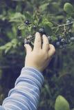 Chłopiec uprawy życiorys jagoda Fotografia Stock