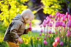 Chłopiec wącha różowych tulipany w ogródzie przy letnim dniem lub wiosną obraz royalty free