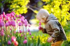 Chłopiec wącha różowych tulipany w ogródzie przy letnim dniem lub wiosną Obrazy Royalty Free