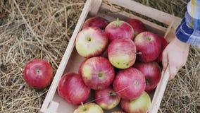 Chłopiec zbiera jabłka w drewnianym pudełku zbiory