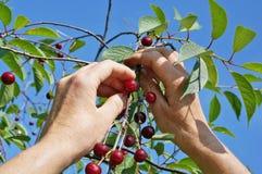 Chłopska kobieta zbiera żniwo dojrzałe wiśnie od drzewa Zdjęcie Royalty Free