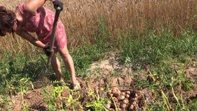 Chłopska kobiety żniwa wykopaliska eco grula z rozwidleniem w rolnej ziemi zbiory wideo