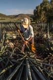 Chłopska tnąca agawa z ax Zdjęcia Stock