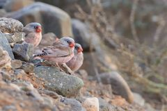 Chłosta trąbkarzów Finches - Bucanetes githagineus fotografia stock