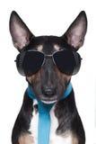 Chłodno Bull Terrier pies Zdjęcie Royalty Free