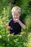 Chłopiec eaing malinki przy ogródem Obraz Royalty Free
