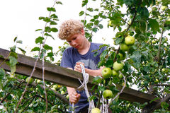 Chłopiec i drzewna owoc Zdjęcia Royalty Free