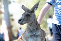 Chłopiec klepie wielkiego popielatego kangura zdjęcie royalty free