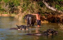 Chłopiec myje wodnego bizonu blisko Inle jeziora, Myanmar Fotografia Royalty Free