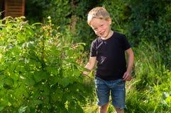 Chłopiec zrywania malinki przy ogródem Zdjęcie Royalty Free