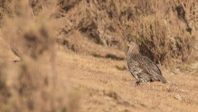 Ch?taigne-naped Francolin dans le domaine aride photo libre de droits