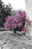 Ch?teau m?di?val italien : D?tail d'usine de floraison au printemps images libres de droits