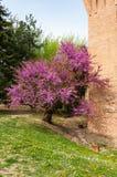 Ch?teau m?di?val italien : D?tail d'usine de floraison au printemps photographie stock libre de droits