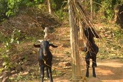 Ch?vres domestiques indiennes mangeant des feuilles Une sc?ne indienne rurale photos libres de droits