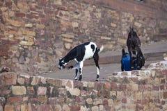 Ch?vres sur un mur du temple antique d?truit l'Inde photos stock