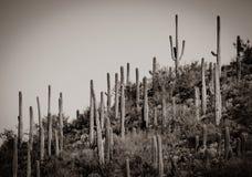 Chaîne de montagne de Saguaro de sépia photo libre de droits