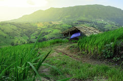 Chałupa w ryżowym pola gospodarstwie rolnym Zdjęcia Stock