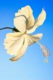 cha ba цветет Таиланд стоковое изображение