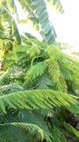 Cha Om vegetal Fotos de Stock