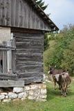 Chałupa i krowy Zdjęcie Stock
