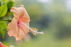 Chaba amarillo y rosado Fotos de archivo libres de regalías