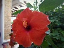 Chaba-Blume lizenzfreies stockfoto