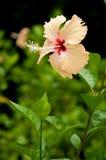 Chaba, fleur de ketmie Photographie stock